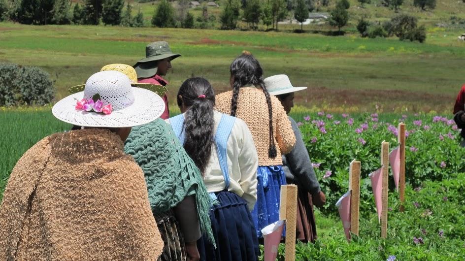 Evaluación participativa de las variedades de papa en Colomi. Crédito: Bioversity International/P. Bordoni